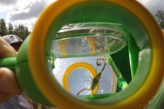 Florida-bark-scorpian-under-glass